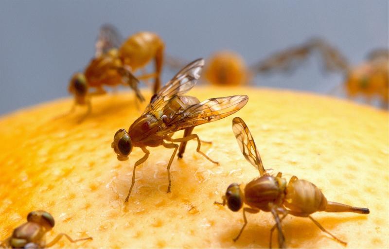 Fruchtfliegen vertreiben - Hausmittel gegen die kleinen Plagegeister