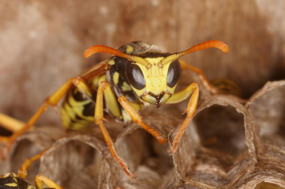 Was tun gegen Wespenstiche? – Richtige Behandlung