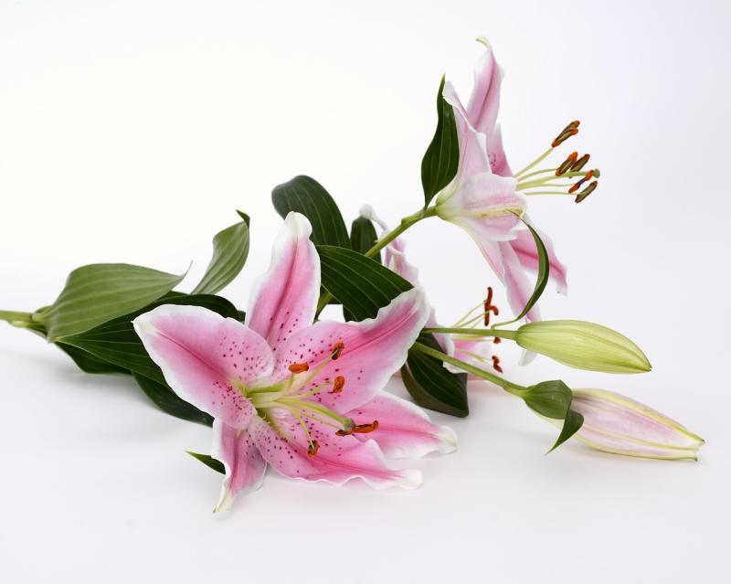 Blütenstaub: Wenn schöne Lilien hässliche Flecken machen
