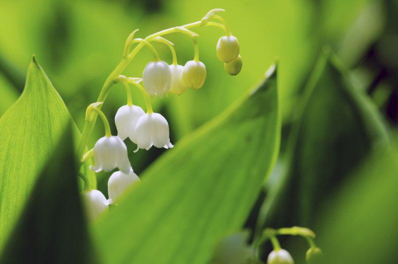 Gartentipps: Maiglöckchen