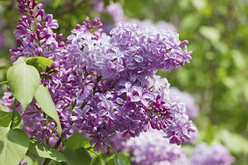 Gartentipps: Flieder