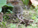 Ratten und Wühlmäuse im Garten: Das hilft gegen die Nager